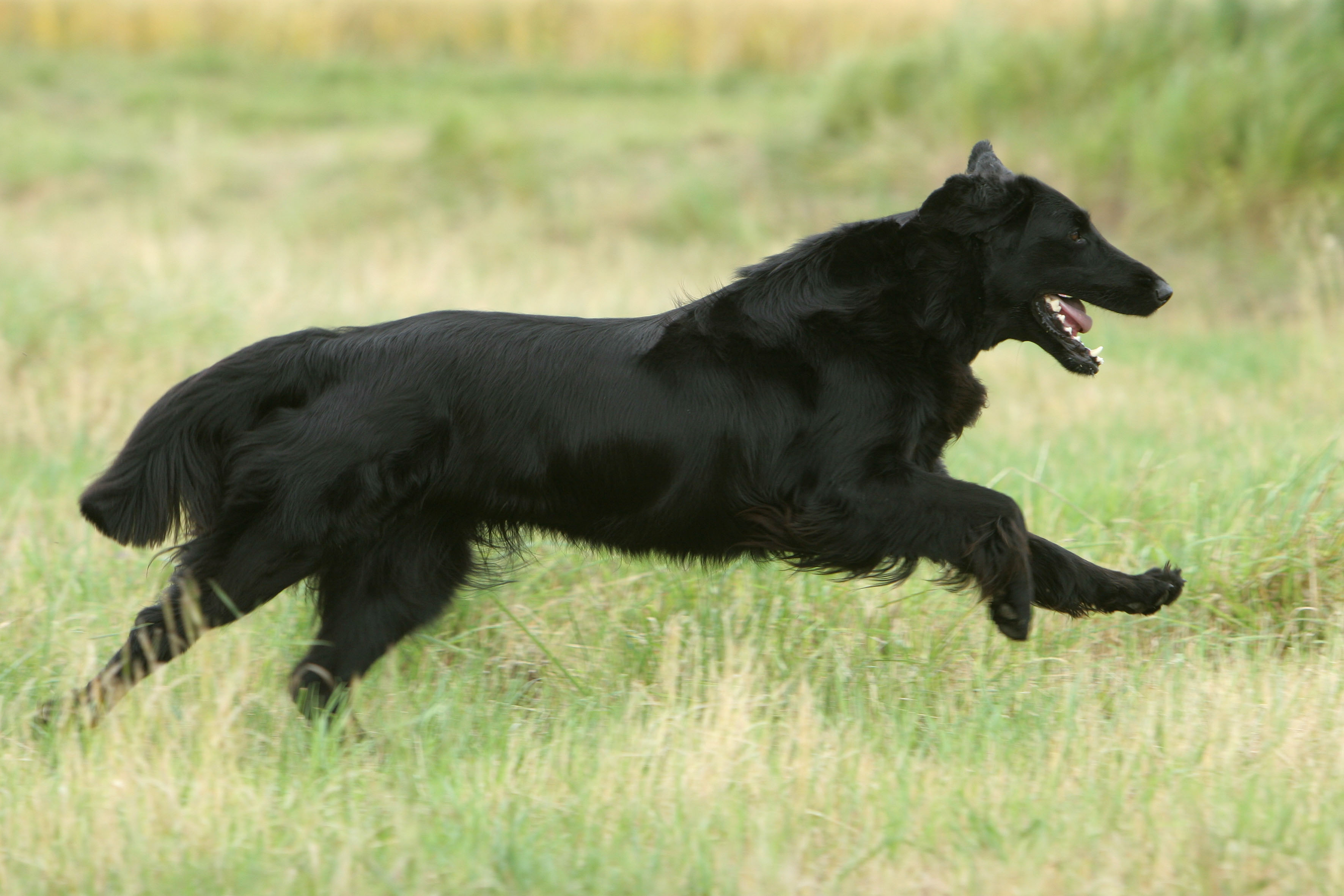 Flatcoated retriever - Ravenswood de la Source d'Edesse