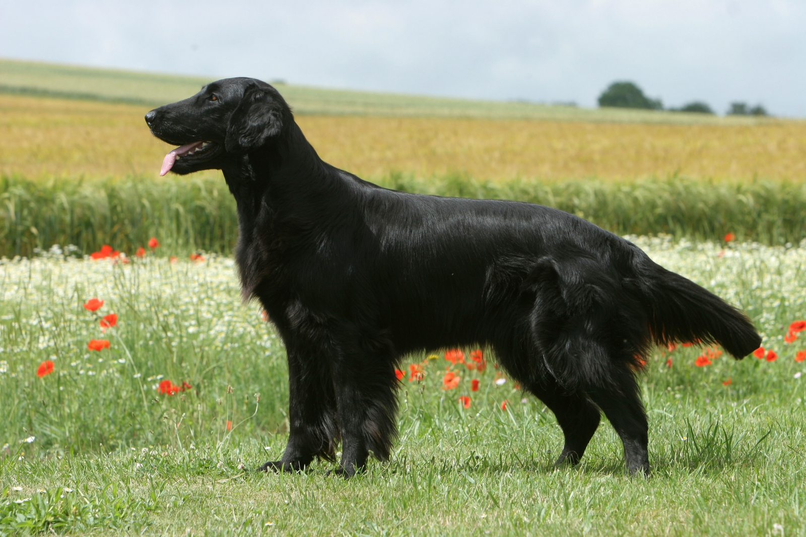 Flatcoated retriever - Trinity Night Beauty de la Source d'Edesse