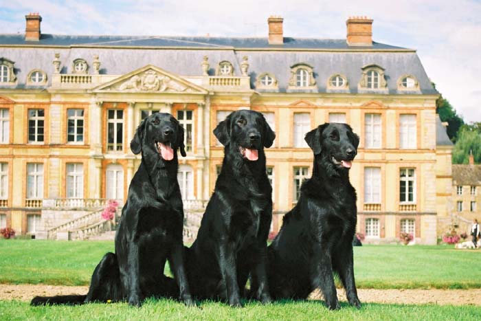 3 Flatcoated Retrievers - La Source d'Edesse kennel